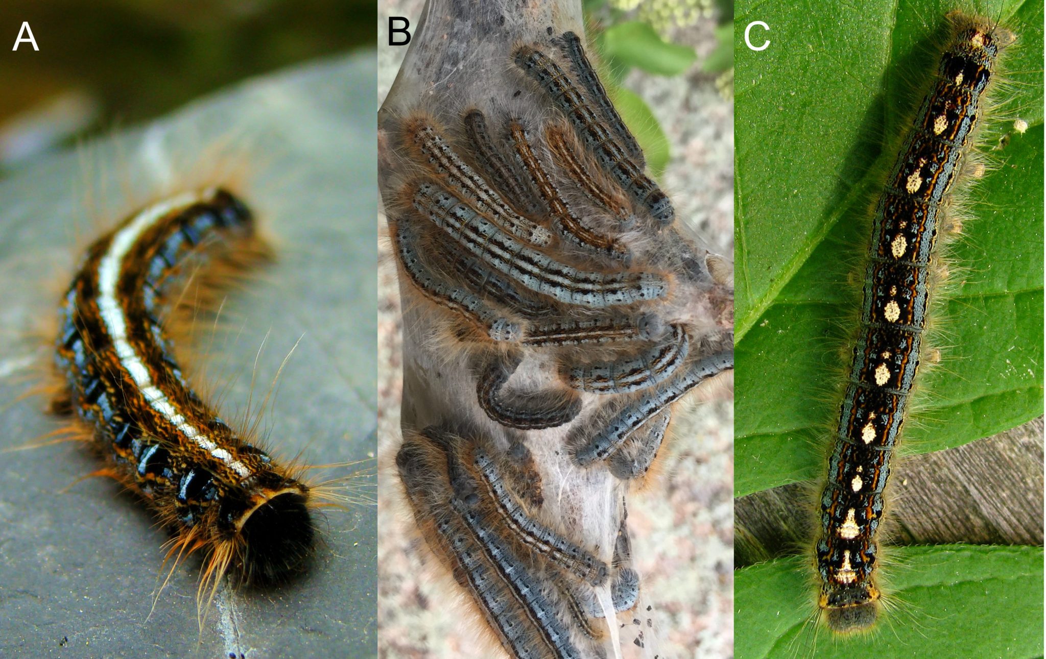 The Return Of Tent Caterpillars What S It Means For Your Yard Purdue Landscape Report