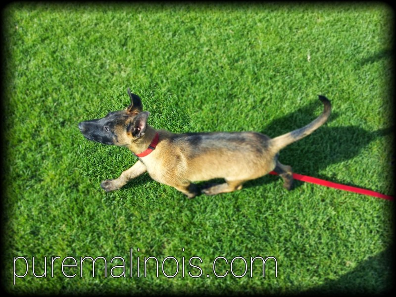 Belgian Malinois Breeders Nevada
