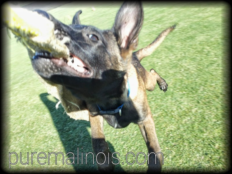 Belgian Malinois Breeders in California