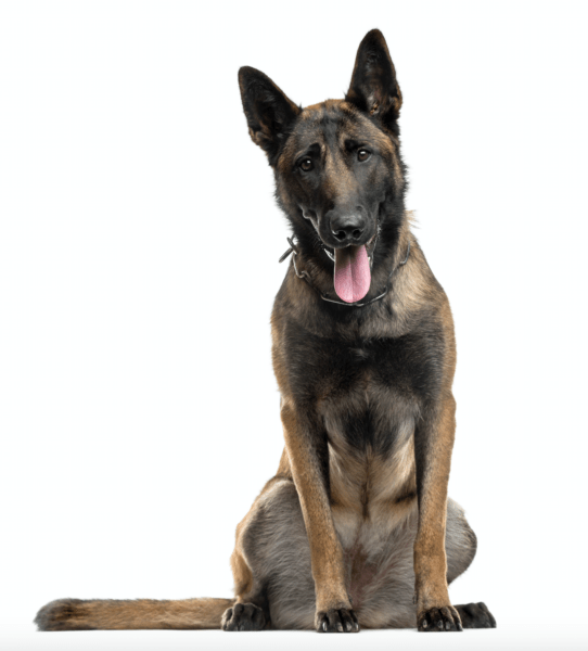 belgian malinois breeders in anchorage alaska.