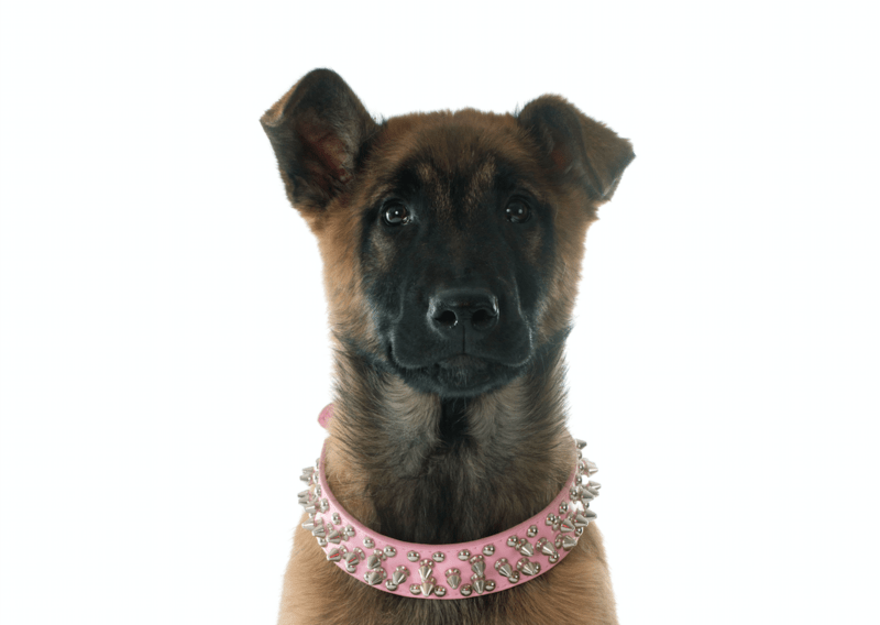 Why are the ears on some Belgian Malinois floppy?