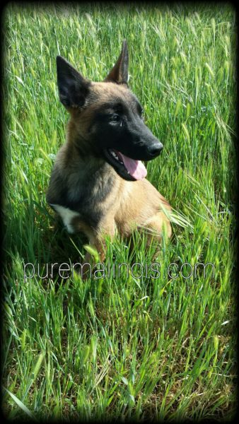 Belgian Malinois In The Grasses
