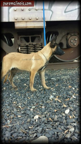Belgian Malinois Puppy With A Tagged Train In The Background