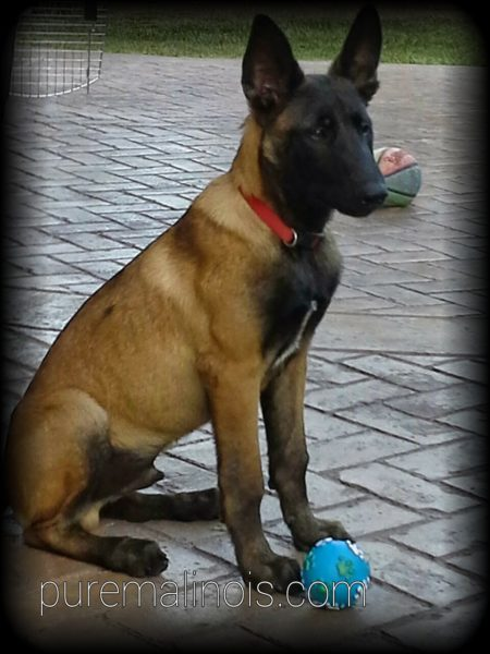 Belgian Malinois With A Frowned Look