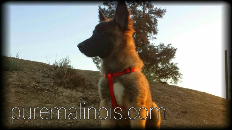 Fluffy Belgian Malinois Puppy By The Hill Watching Attentively