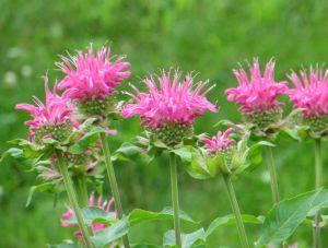 bergamot bloemen