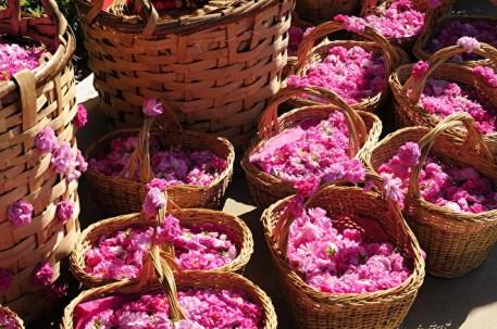 Bulgaria Rose