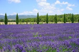 Lavendel veld frankrijk