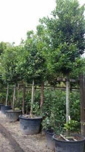 Laurier bomen