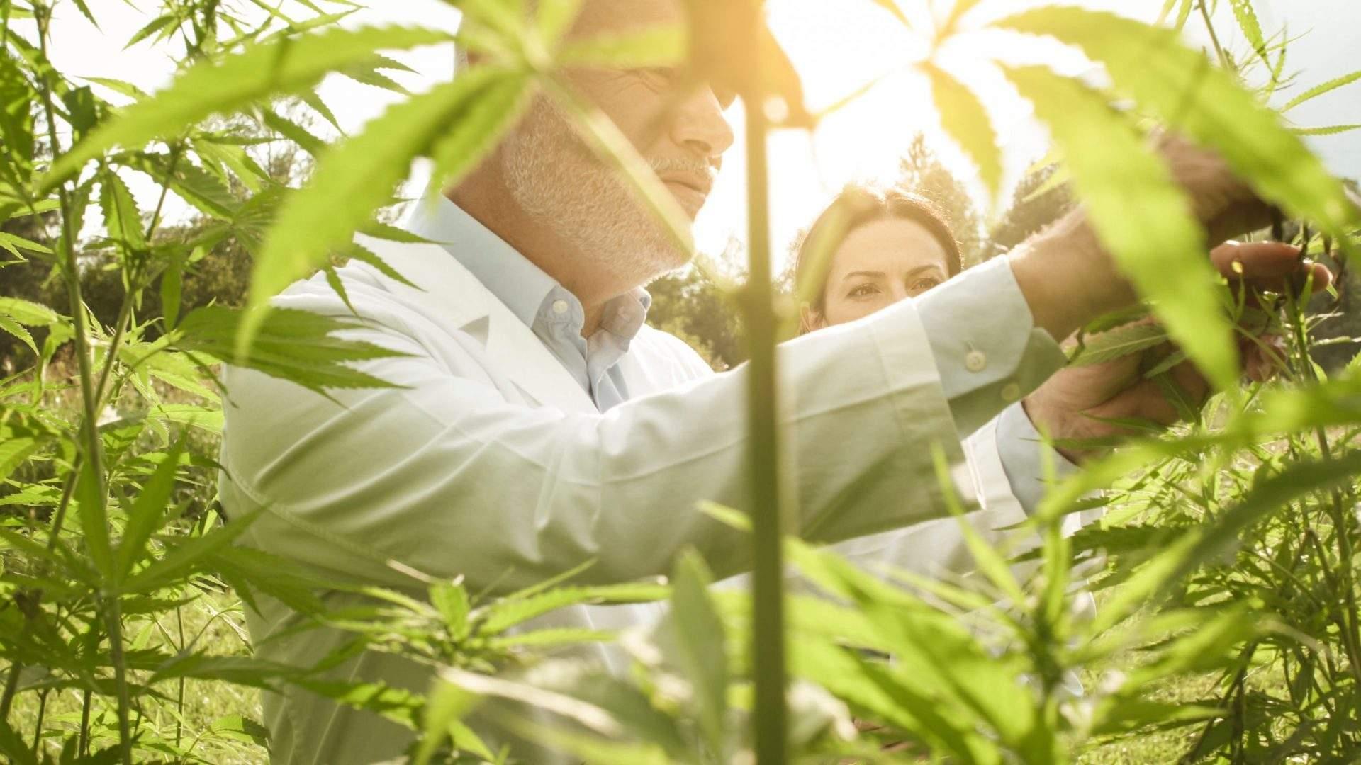 inspector de cannabis para hacer aceite de CBD orgánico en el España