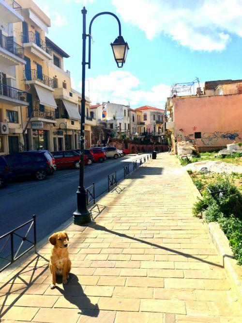 Cretan Dog in Chania Town