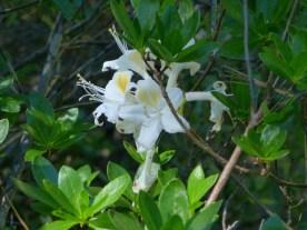 Sugar Pine Reservoir wild lilly