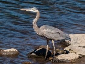 Heron at Jackson Meadows Reservoir