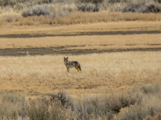 Coyote way in the distance, Charlie spotted him way before us.