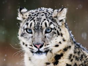 leopardo-delle-nevi Parco natura viva