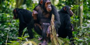 Wild Chimpanzees in Mahale Mountains