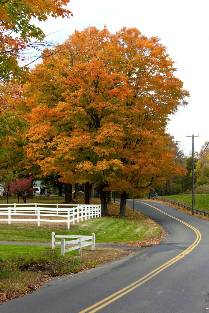 A bright orange maple tree in a country setting during the autumn months