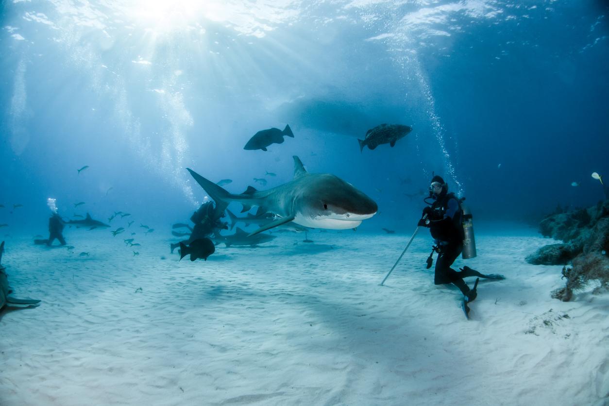 Tiger shark at Tigerbeach, Bahamas