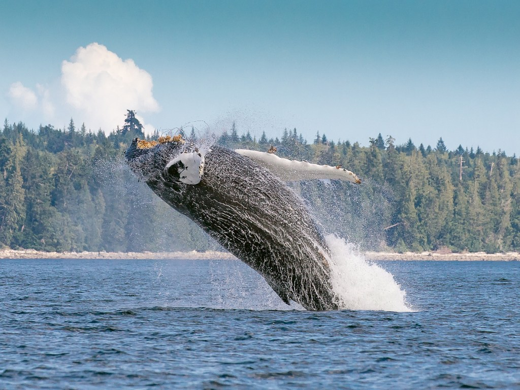 A humpback whale breaching in Gwaii Haanas National Park Reserve in Haida Gwaii.