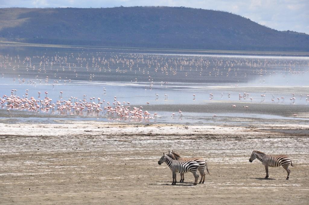 Flamingos and zebras on Lake Naivasha, Kenya