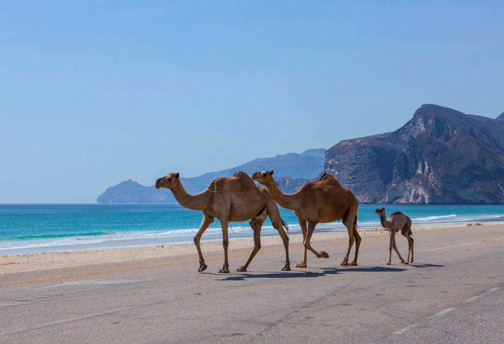 Camels in Oman on the Beach