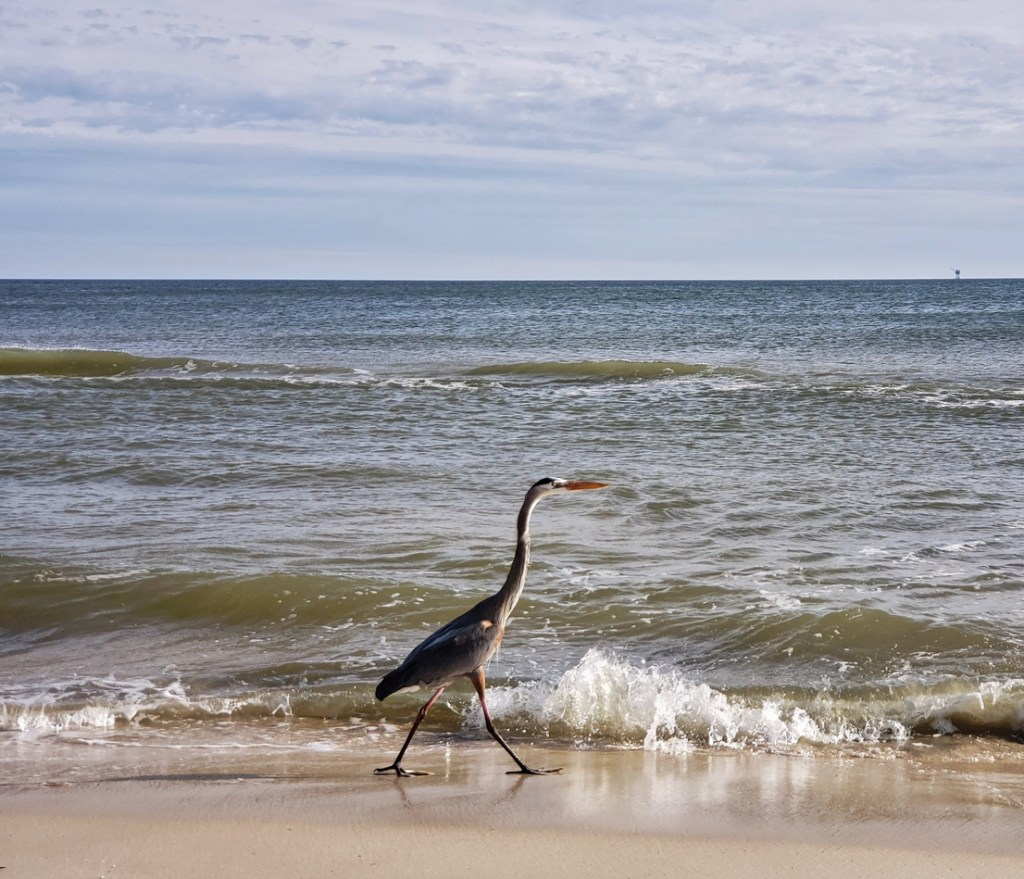 Heron on the beach at Gulf Shores