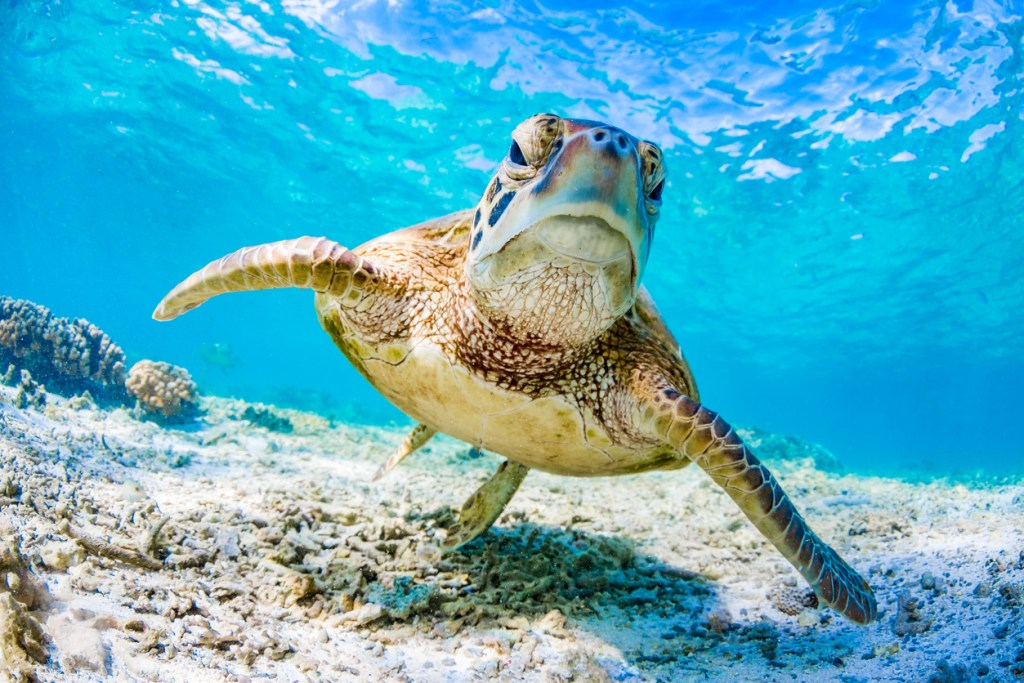 Green Turtle Swimming on the Great Barrier Reef, Queensland, Australia