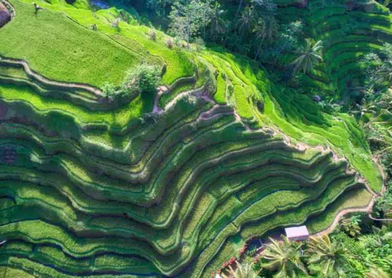 rice paddy bali asia