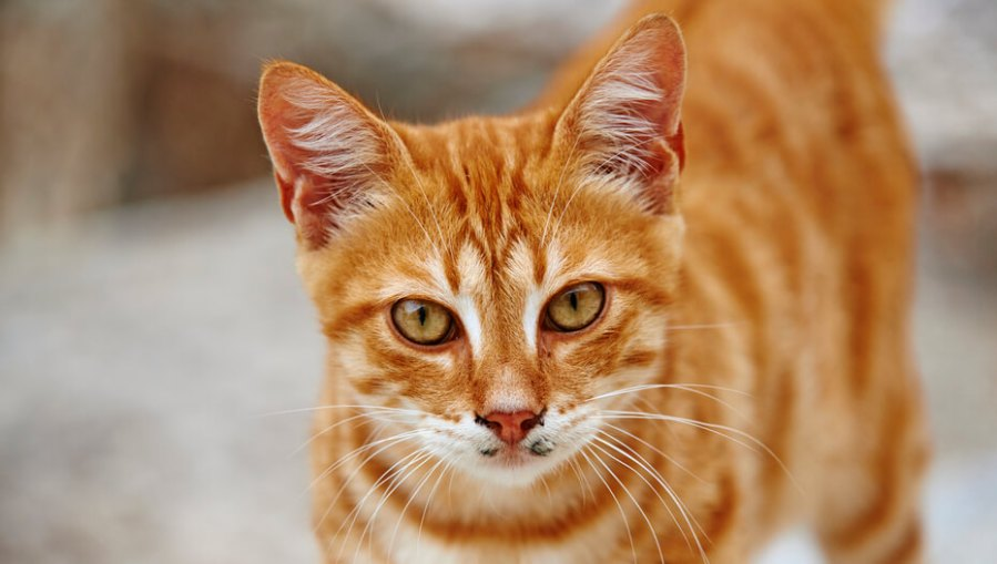 kucing oranye dengan garis-garis