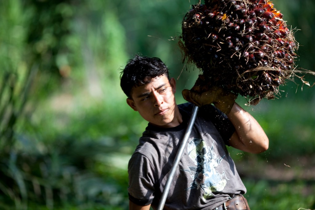 "In this May 7, 2012 photo, Axel collects oil palm fruits inside a horse-drawn cart in ""La Confianza"" peasant model city, Bajo Aguan, Honduras. Peasants from MUCA (Movimiento Unificado Campesino del Bajo Aguan) occupied around 7000 sq meters of productive land close to the city of Tocoa in the Valley of Bajo Aguan, eastern coast of Honduras in December, 2009. They operate a comercial production of african palm and they also stablished what they call a ""peasant model city"" called ""La Confianza"" where more than 300 hundred families live. Since then an open conflict between them and the alleged owner of the land, Miguel Facussé, one of the most powerful businessmen in Honduras has left more than 60 people dead including peasants, security guards, a journalist and members of the Honduran national police. (AP Photo/Rodrigo Abd)"
