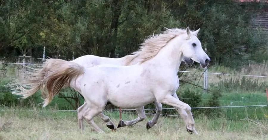 Cavallo arabo polacco