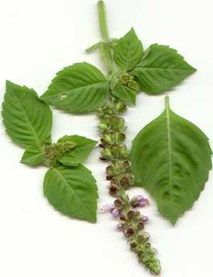 holy_basil_herb