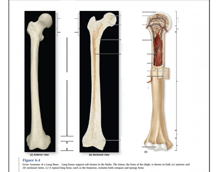 The diagram of a long bone could become your choice when making about bone. Gross Anatomy Of Bone - Anatomy Drawing Diagram