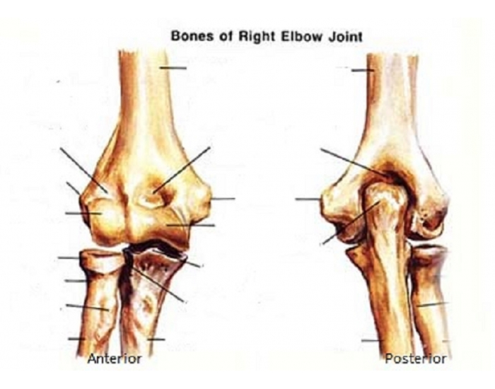 Anatomy of the Elbow Joint