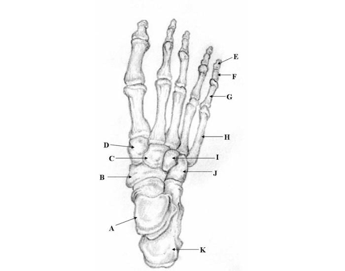 Appendicular Skeleton Foot