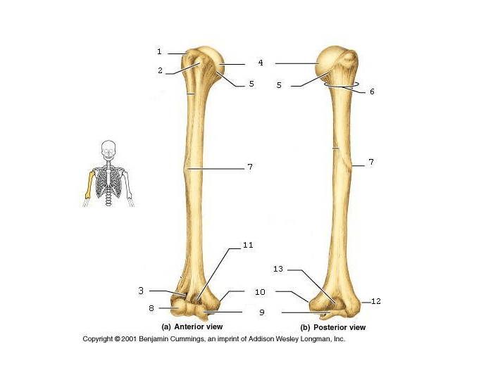 Anterior And Posterior Surface Of Humerus
