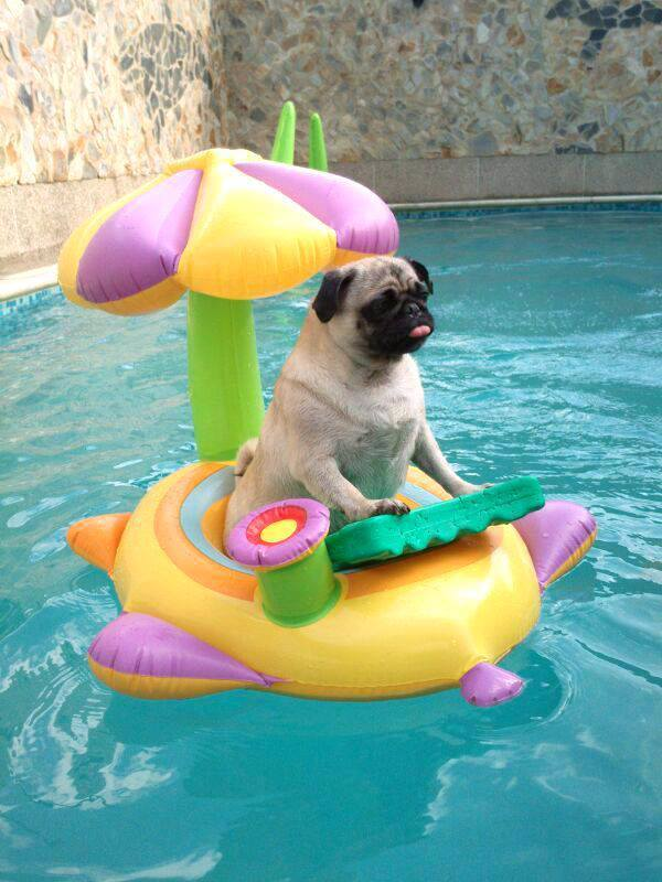 HAPPY PUGGY FRIDAY! Pug on holiday.