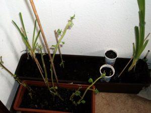 Pot Warna Orange adalah tanaman Kentang, Belakang aneka Bawang