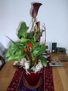 Kado hari Valentine tahun 2012. Bunga Calla Warna Merah