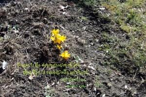 Bunga Krokusse