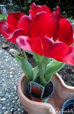 Bunga Tulip di Jerman
