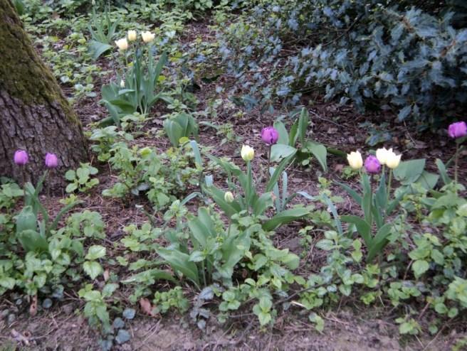 Akhirnya Lihat Tulip Ungu