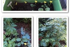 Kebun Sayuranku