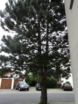 Buah Pohon Pinus ini Bisa digunakan untuk Bahan dekorasi (foto dokumentasi pribadi)