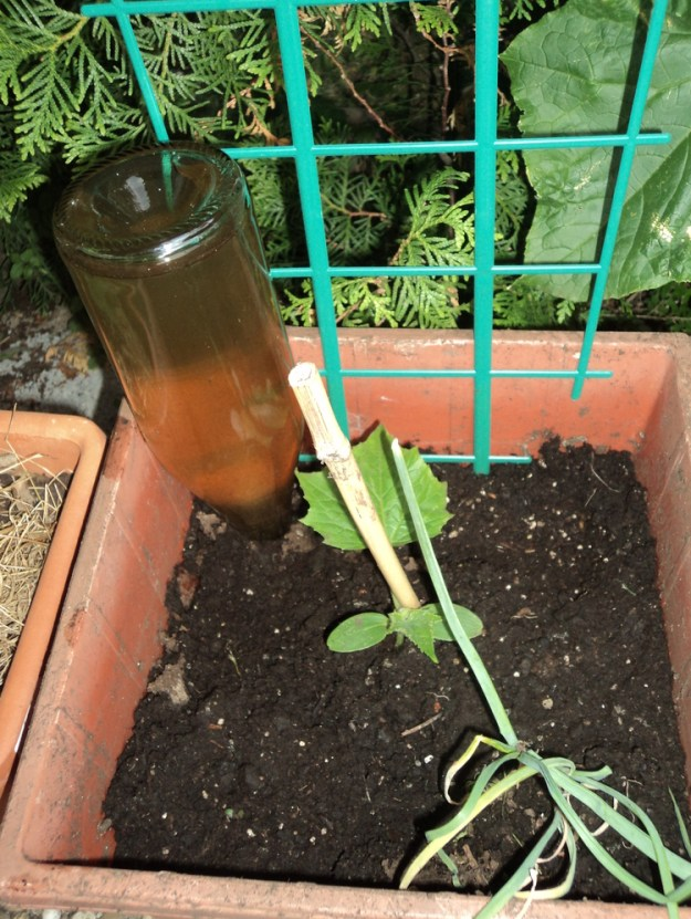 Self watering tanaman. Botol Mulai diletakkan 8 Juni 2012