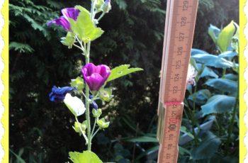 Malva sylvestris yang di taman saya tingginya 131 cm