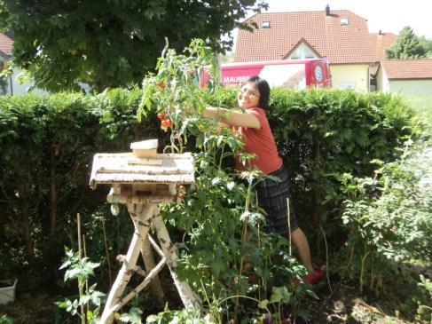 Sungguh Menyenangkan Panen Tomat dari Kebun Sendiri