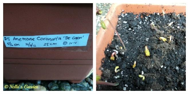 Bibit Bunga Anemone Coronaria sudah Mulai Tumbuh