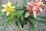Dua Jenis Bunga Bromelia Guzmania