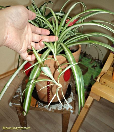 Tanaman Hias Spider Plant (di Indonesia namanya Lili Paris) milik saya sudah ada 3 anaknya menggantung pada induknya